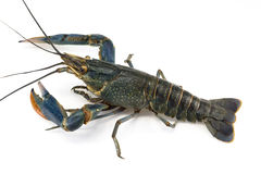 Red claw crayfish Royalty Free Stock Photography