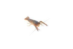 Red claw Crayfish on isolated Stock Photos