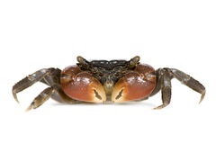 Red-clawed crab - Perisesarma bidens Royalty Free Stock Photos