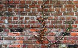Red clay old brick wall with a climbing plant stuck to it Royalty Free Stock Photos