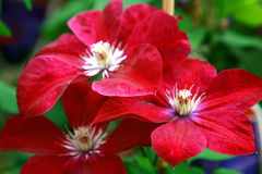red clematis Royalty Free Stock Photography