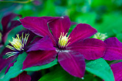 Red clematis Stock Photography