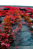 Red climber on a wall during autumn. Stock Photos
