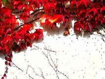 Red climbing plant on the white wall in autumn. Natural background pattern / texture with  place for text Stock Photo