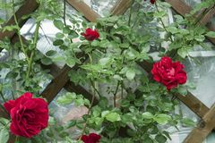 Free Red Climbing Rose Curls On The Wall In The Garden On The Dacha Stock Photos - 150780773
