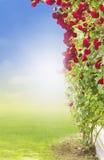 Red climbing  rose on grass Stock Photos