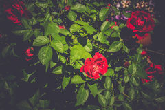 Red Climbing Rose Retro. Red roses climb a rose arbor in the garden, vintage colors Royalty Free Stock Photos