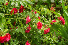 Red Climbing Rose Royalty Free Stock Photography
