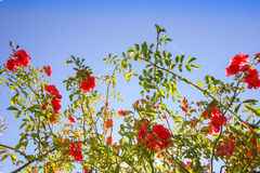 Red climbing roses against blue sky Royalty Free Stock Photography
