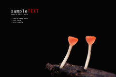 Red Clitocybe mushroom. Isolate on black Royalty Free Stock Photo