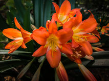 Red clivia bloom Royalty Free Stock Photos