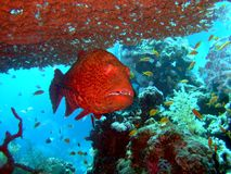 Red close-up grouper. In the sea royalty free stock photography