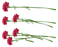 Red clove. Bouquet of carnations. Set carnation flowers Stock Photos