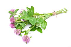 Red clover Stock Photography