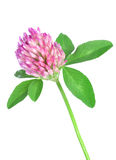 Red clover. Isolated on a white background royalty free stock photo