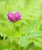 Red Clover Stock Photos