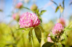 Red Clover. Selective focus on a blooming Red Clover Wildflower Stock Photography