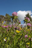 Red clover. On a summer meadow Stock Image