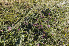 Red clover ay texture background. Summer hay drying season green grass left for drying Royalty Free Stock Photos