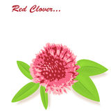 Red clover background with a space for the text. Royalty Free Stock Image