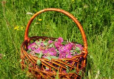 Red clover in the basket. Gather Herbs for Herbal Medicine. Herbal Plants. It is an ingredient in some recipes for essiac tea, herbal tea stock photos