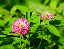 Red clover. Blooming meadow clover with big red flowers stock images