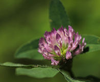 Red clover blossom Stock Photo