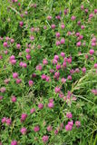 Red clover. Bright summer field blooming fragrant red clover stock photo