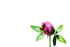 Red Clover and Butterfly. A single clover flower blooming in late spring with its pale purple and white flowers hosting a hungry orange hobomok skipper butterfly stock photos
