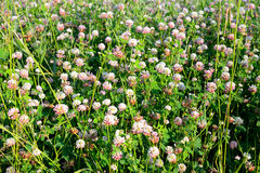 Red clover close up. Royalty Free Stock Images