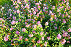 Red clover close up. Stock Photo
