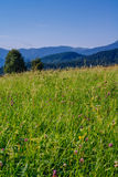 Red clover Royalty Free Stock Image