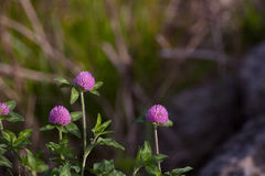 Red Clover with Copy Space Background Stock Photo
