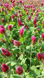 Red clover crop in close up Royalty Free Stock Photography