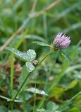 Red clover with drops Stock Image