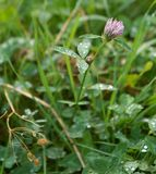 Red clover with drops Royalty Free Stock Photo