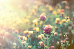 Red clover early in morning Royalty Free Stock Image
