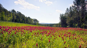 Red clover field Royalty Free Stock Images