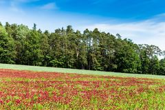 Red clover field and blue sky in summer day. Royalty Free Stock Photo