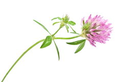 Red clover flower Stock Photos