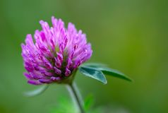 Red clover flower against green background stock image