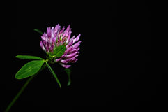 Red clover flower on black background Royalty Free Stock Image