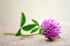 Red clover flower Stock Images