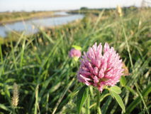 Red clover flower in field of autumn Royalty Free Stock Photography