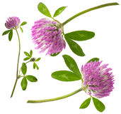 Red clover flower Royalty Free Stock Photos