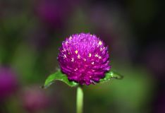 Red clover flower. In Osaka Japan stock photos