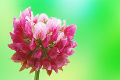 Red clover flower Royalty Free Stock Photography