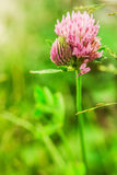 Red clover flower Stock Image