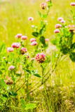 Red clover flower Royalty Free Stock Image