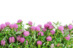 Red clover flower. White background. Clover plant macro shot, isolated on white background royalty free stock images